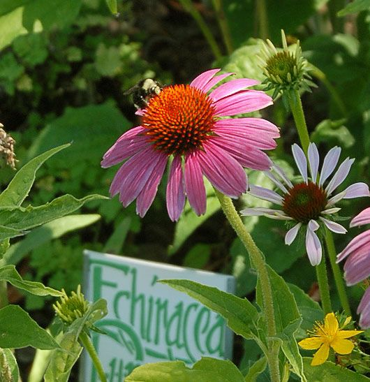 Echinacea Or Purple Coneflower Or Sampson Root Used Medicinally To Boost Immune System Many 4 Knobby Flowe Flowers Perennials Planting Herbs Growing Flowers