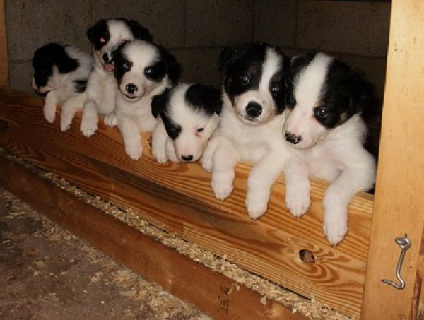 Border Collie Puppies For Sale Nc Zoe Fans Blog Collie Puppies