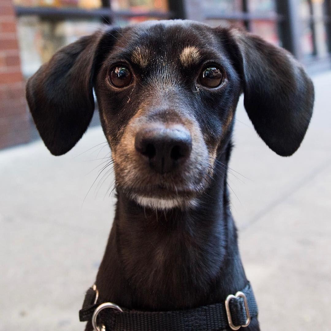 Beagle Rat Terrier Mix Rat Terrier Mix Terrier Mix Rat Terriers