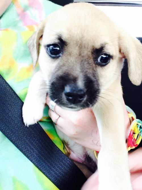 Khaki is an adoptable Pomeranian, Boston Terrier in