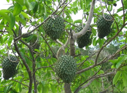 Sour Sop Tree The Flesh Of The Fruit Consists Of An Edible White