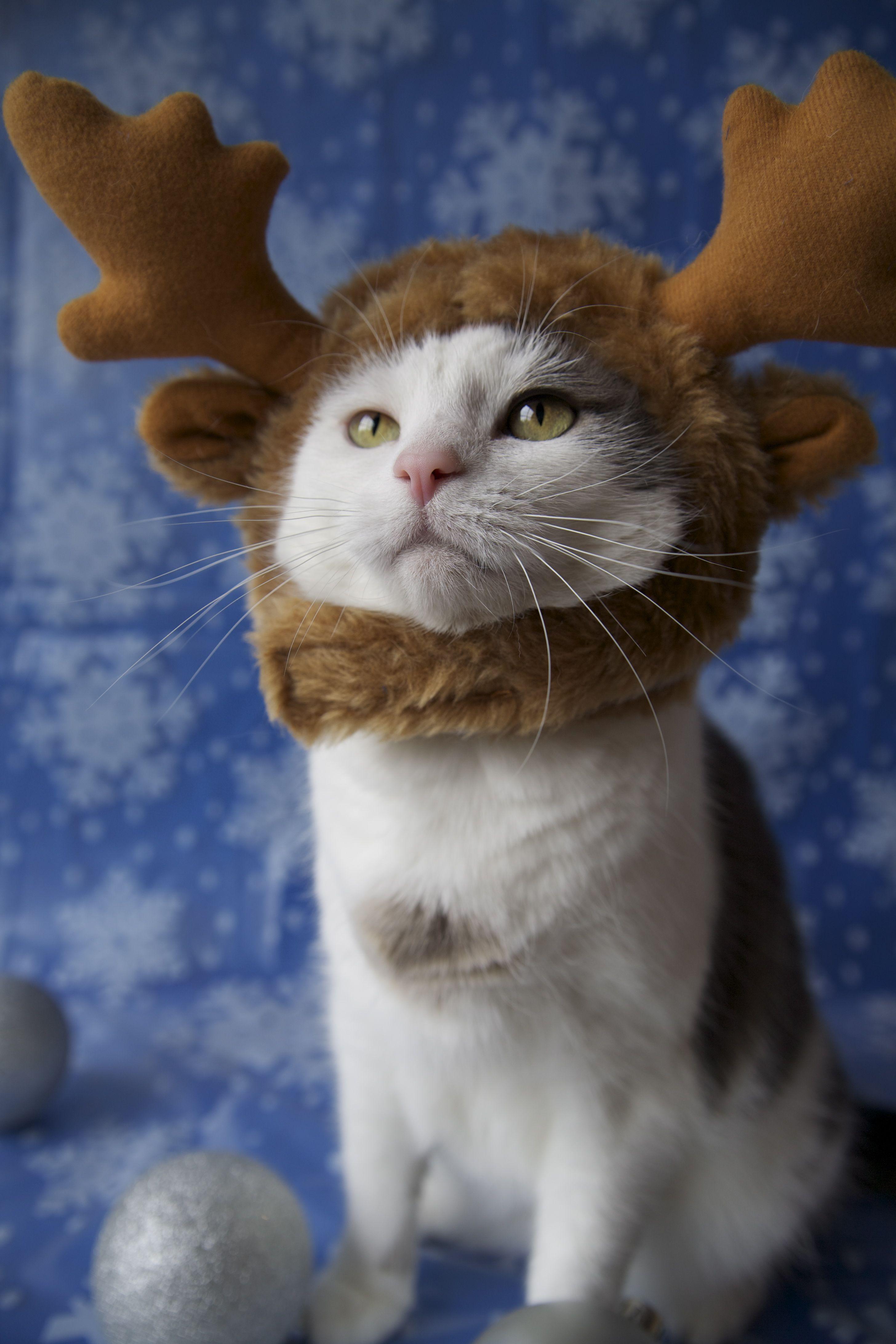 Christmas reindeer Cat Costume! Happy cat, Cat costumes