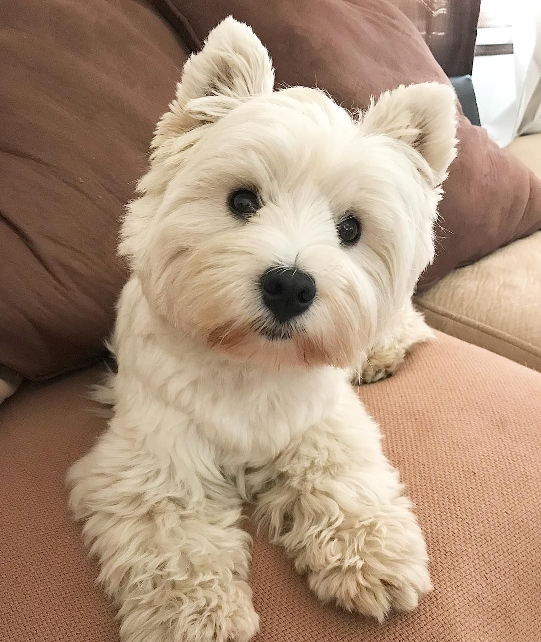 Jazzy The Fluffy Westie Westie Dogs Westie Puppies Westie Terrier