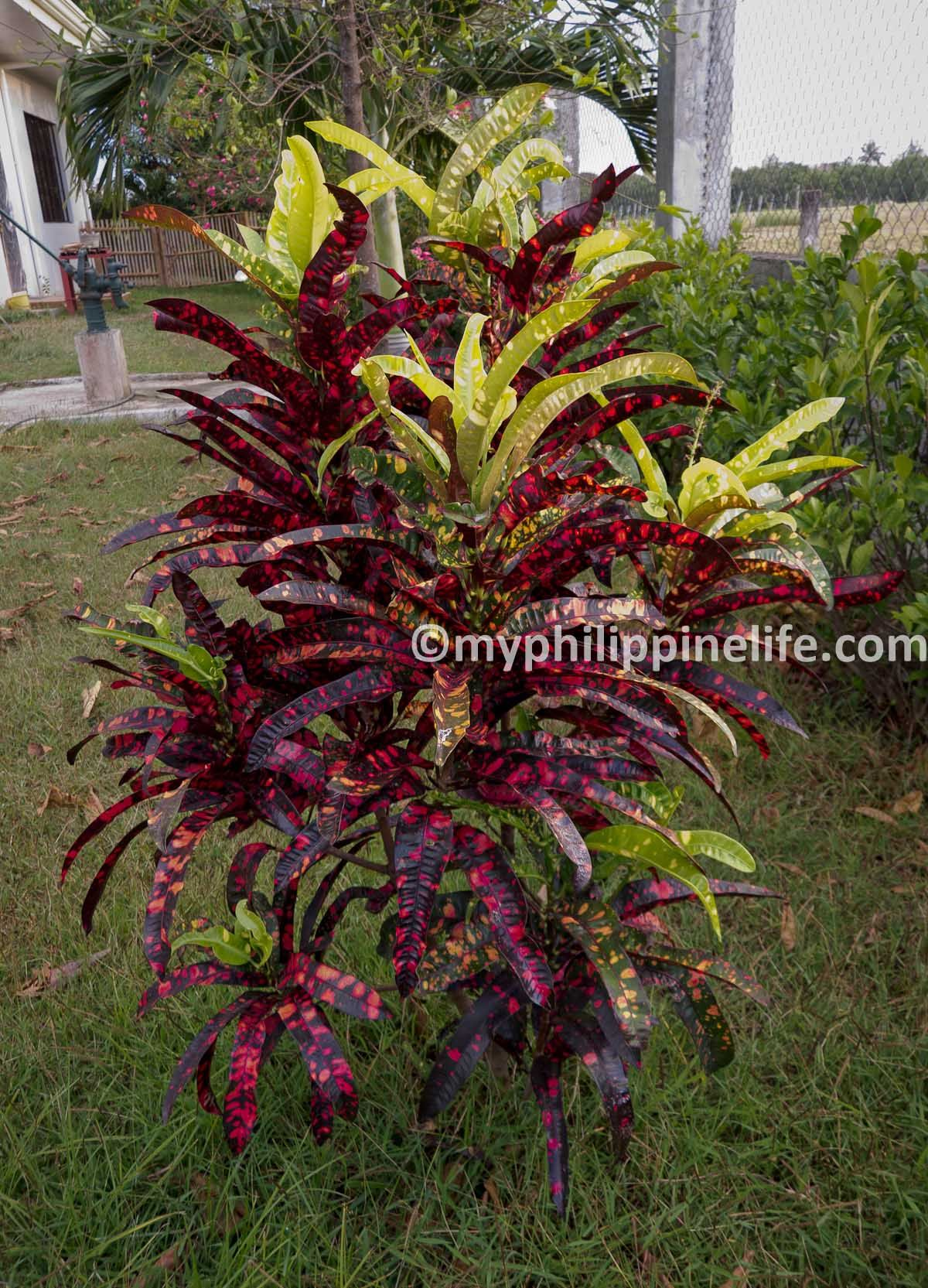 Croton stoplight crotons are native to india but for Croton plant