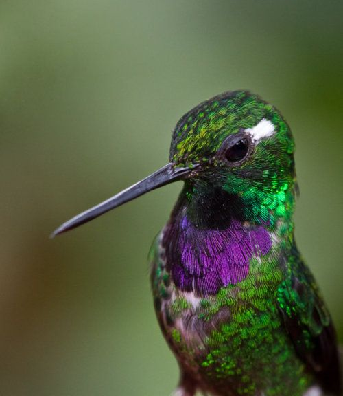 Purple-bibbed Whitetip -- found in the humid Chocó in Columbia and Ecuador