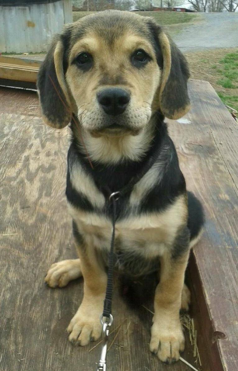 Adopt Grey on Pets, Doberman pinscher, Animals