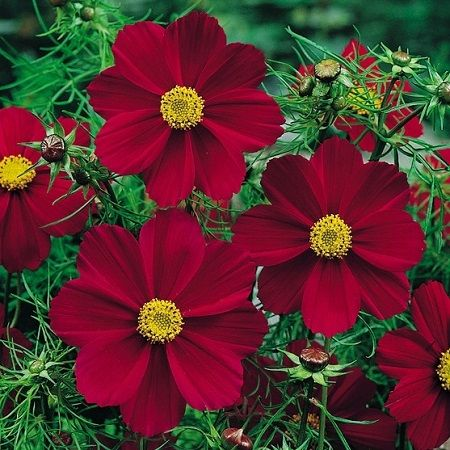 Cosmos Seeds Versailles Tetra Red Heat Tolerant Flowers Annual Flowers Flower Seeds