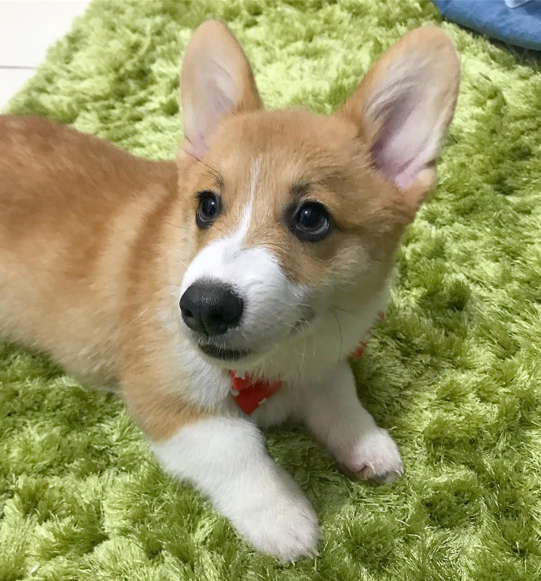 What Do You See Bowtie Floof Subfloofer Funny Corgi Pictures Dachshund Pictures Corgi Puppy