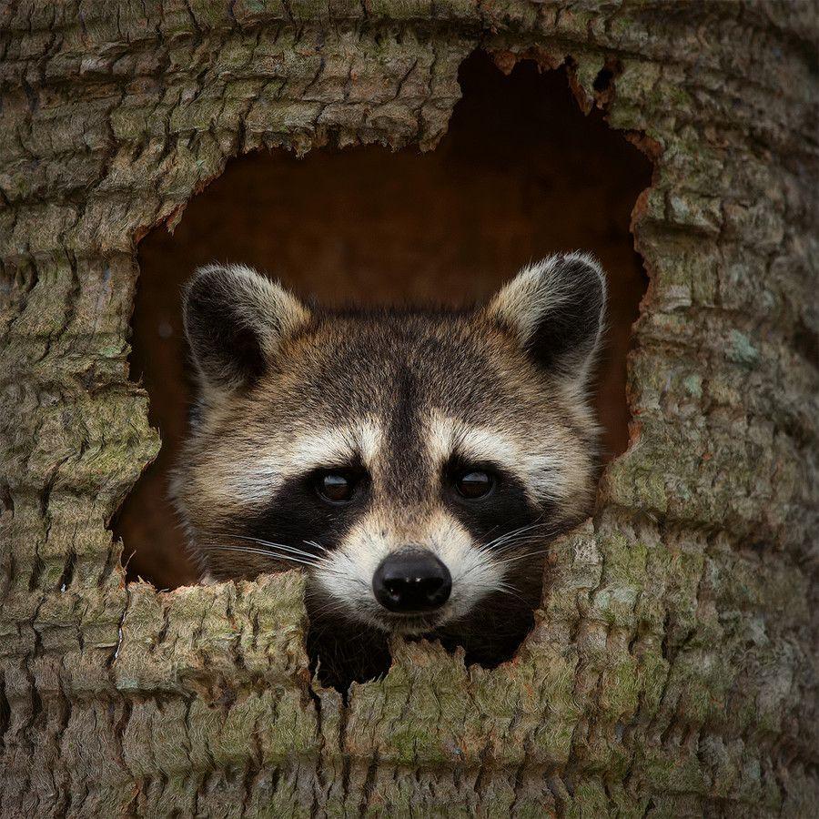 raccoon hideout u0027 photo by steve perry via 500px the raccoon