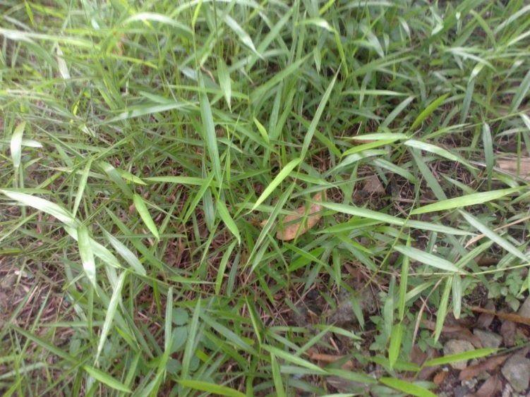 Gambar Bunga Rumput Mutiara Perhatian Inilah 31 Jenis Tanaman Liar Berkhasiat Obat Yang Rumput Mutiara Kebunpedia Menjual Rumput Jep Di 2020 Bunga Tanaman Obat Rumput