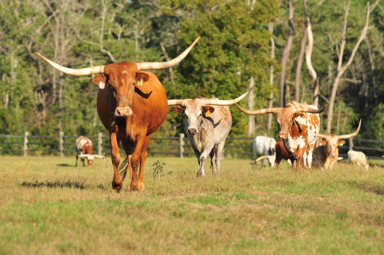 Longhorn Photograph, Cow Picture, Ranch Farm Wall Decor, Texas ...
