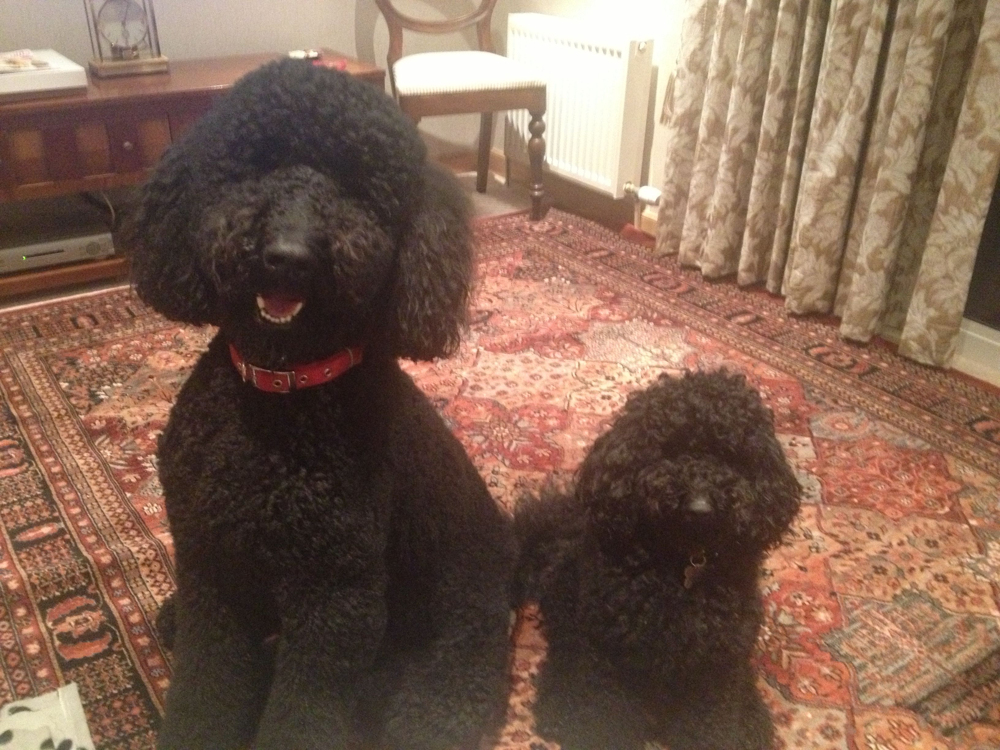 Standard Poodle And Miniature Poodle Best Of Friends Only 5