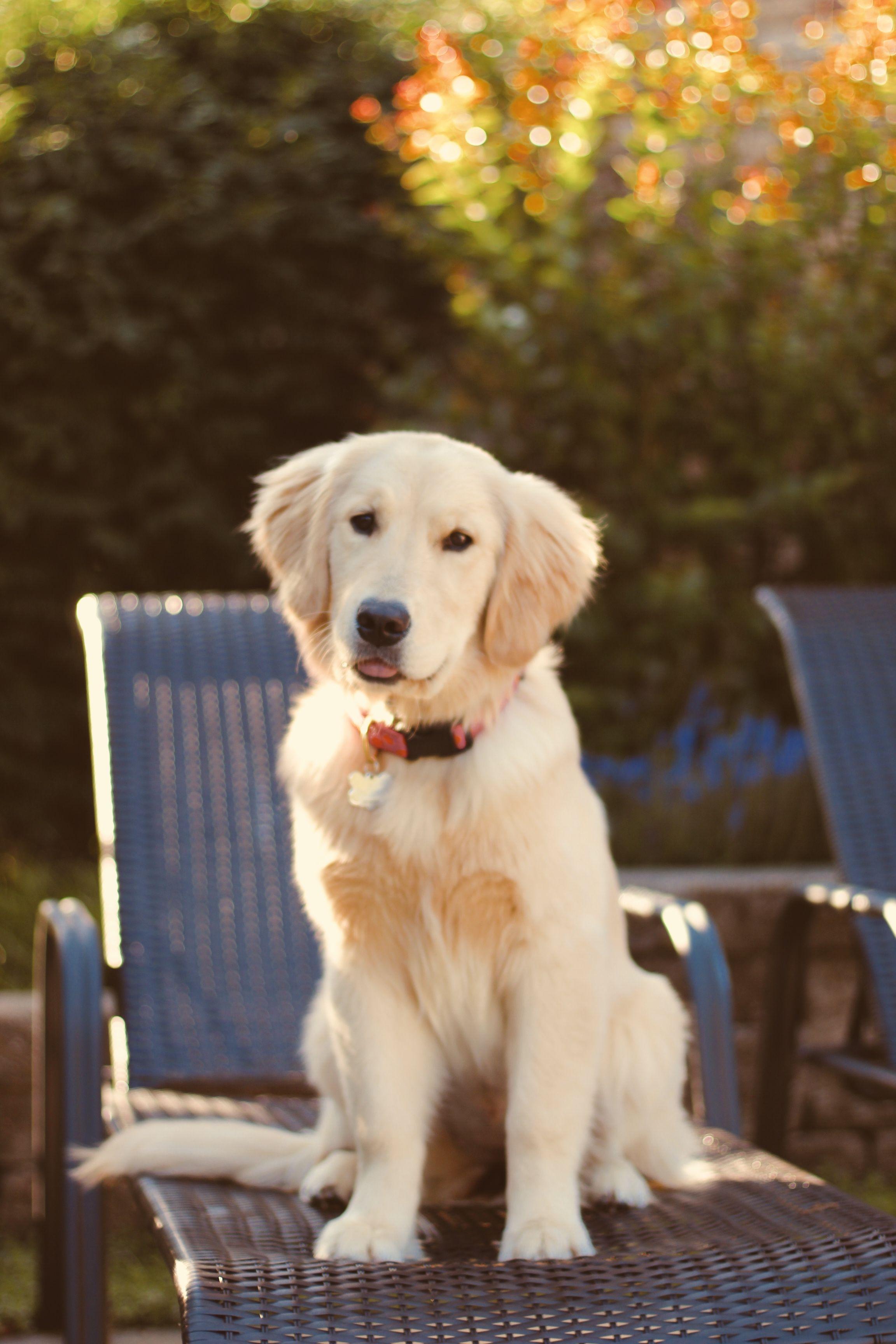 Golden Retriever Puppy Photoshoot Golden Retriever Golden