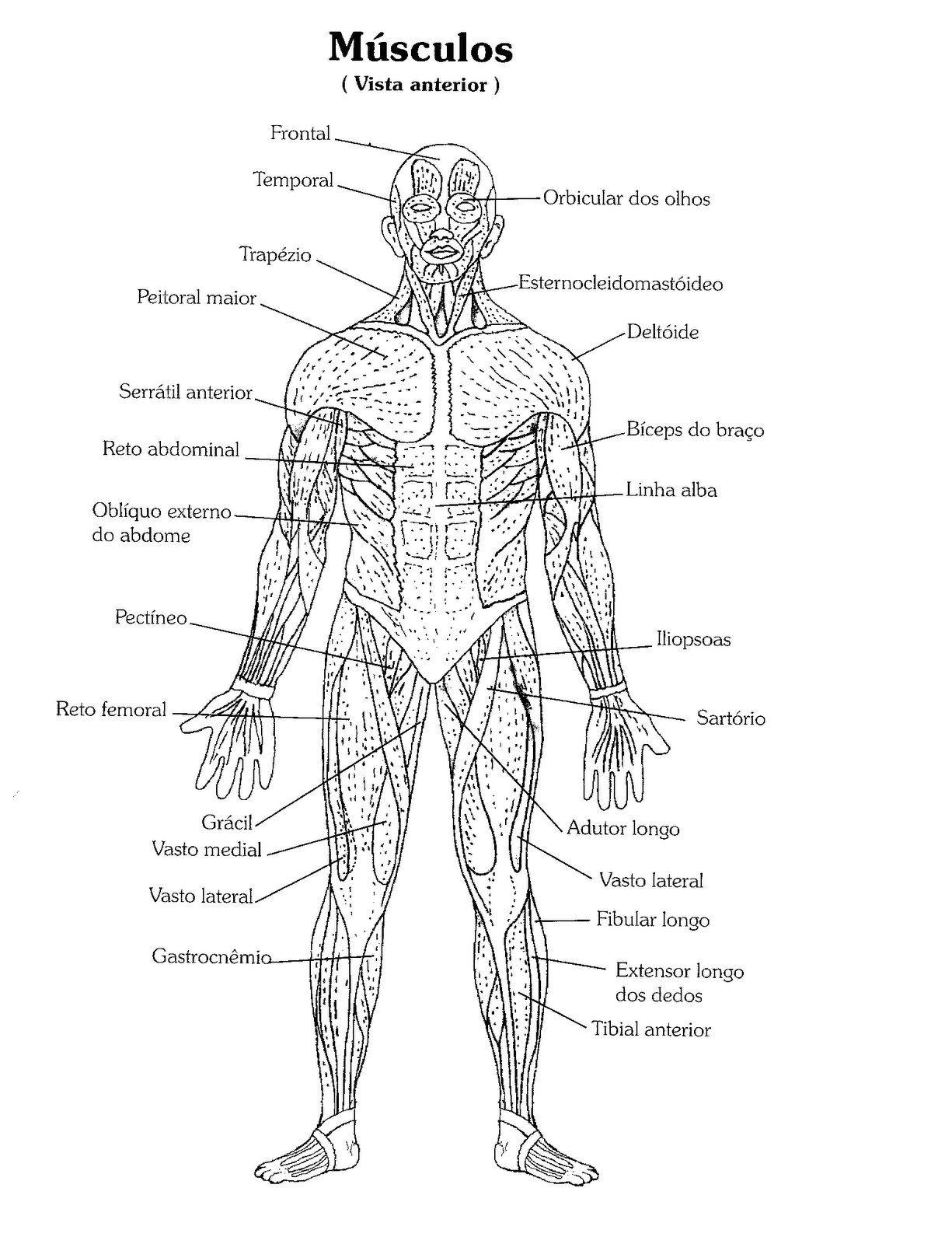 Resultado De Imagen Para Anatomia Musculos Para Colorear Anatomia Musculos Anatomia Anatomia Humana