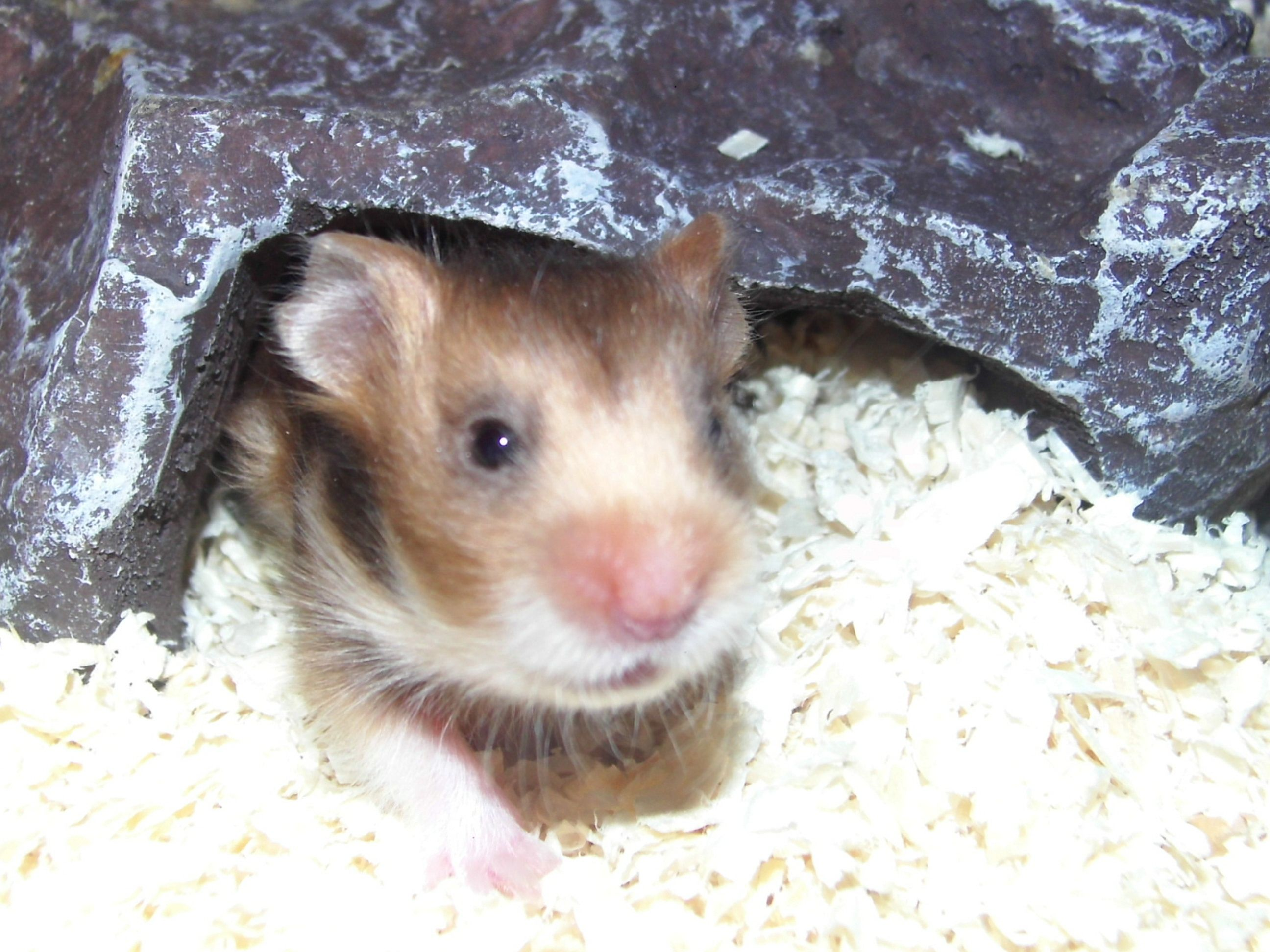 17 Day Old Baby Hamster Rust Satin Long Haired Female At Happy Hamsters Hamster Baby Hamster Baby Animals