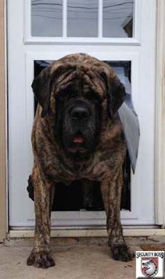 Dog Doors For Extra Large Dogs And Giant Breeds Big Dog Doors Giant Breed Dog Doors In 2020 Dog Door Secure Dog Door Pet Doors
