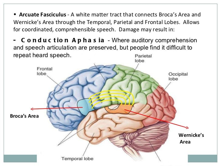 Arcuate Fasciculus https://www.slideshare.net/sil14/the ...