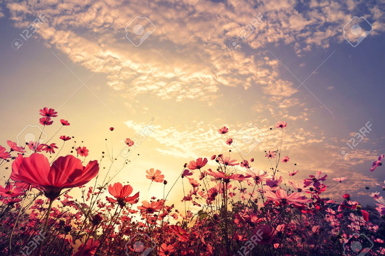Landscape Nature Background Of Beautiful Pink And Red Cosmos Flower Field With Sunshine Vintage Color Tone Flower Field Nature Backgrounds Vintage Colors