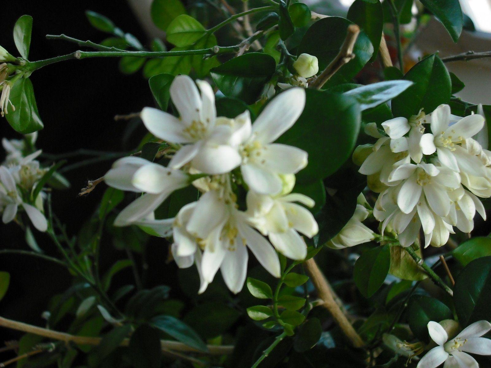 The beautiful Jasmine tree My Future Garden Pinterest