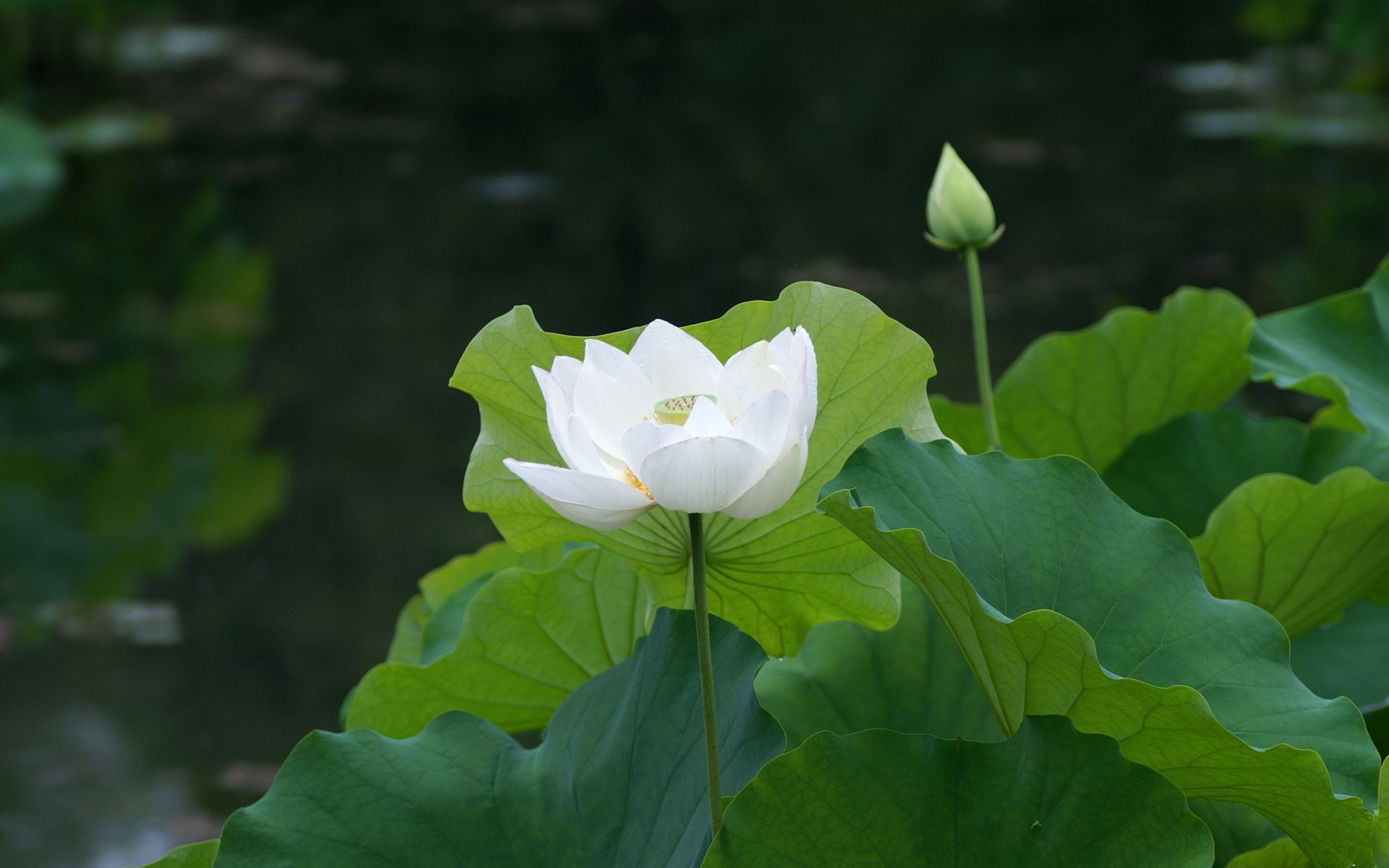 White lotus flower symbols and meanings pinterest white lotus white lotus flower mightylinksfo