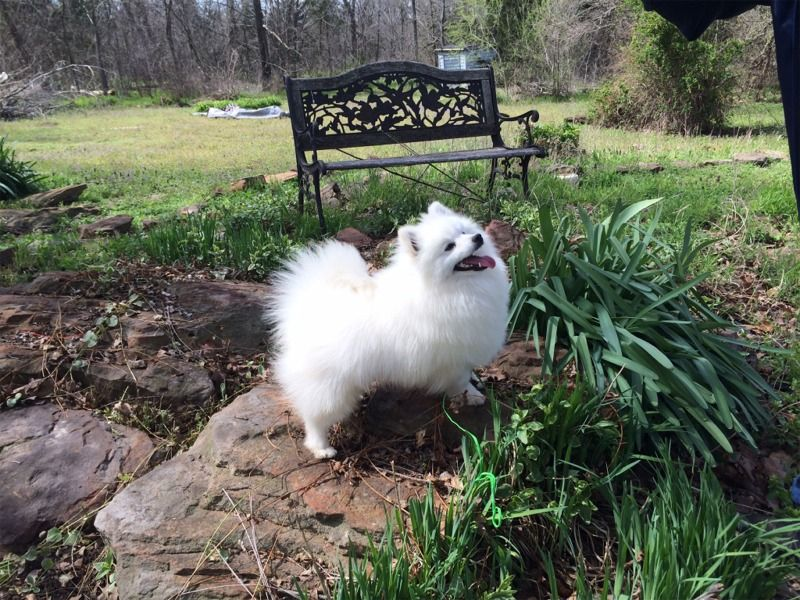 Toy American Eskimo Dogs And Puppies For Sale American Eskimo