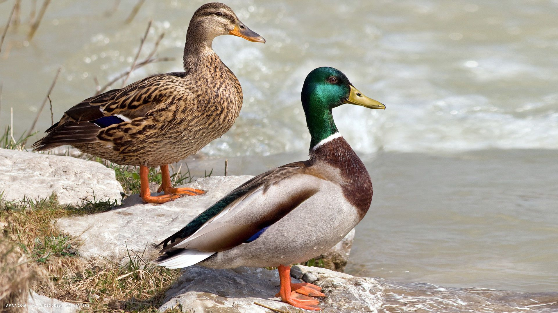 Duck Two Ducks Birds Hd Widescreen Wallpaper Wild Duck Mallard Backyard Birds