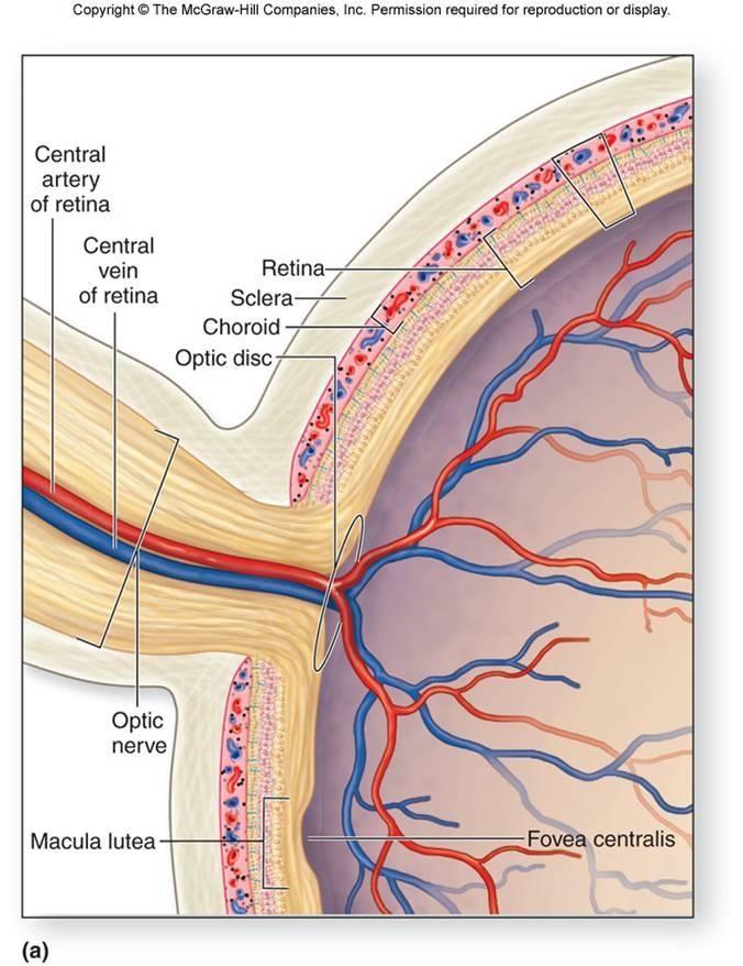 Optic Nerve Anatomy Flashcards Anatomy Exam 3 The