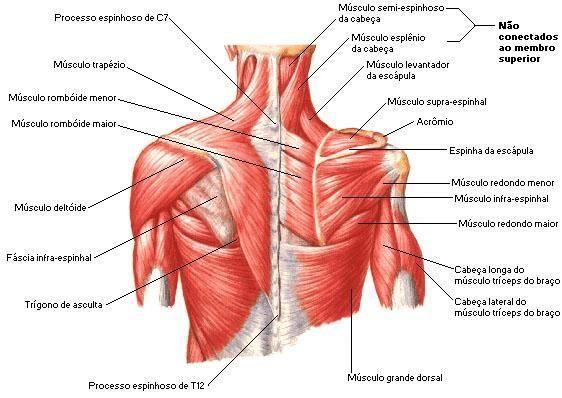 Atlas Corpo Humano - musculos do corpo humano | ANATOMIA | Pinterest ...