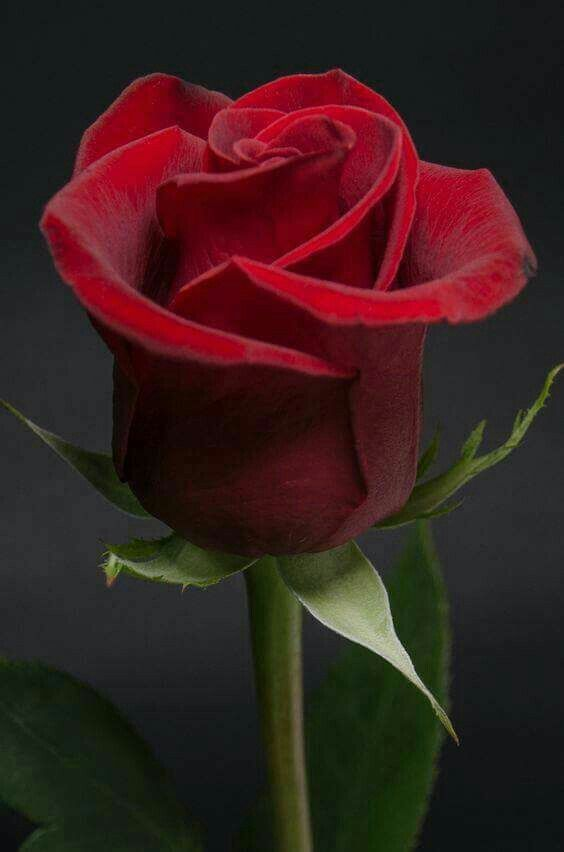Spiritual Accountability Love Has Won Mother God Is Here On Earth Beautiful Rose Flowers Rose Buds Flowers