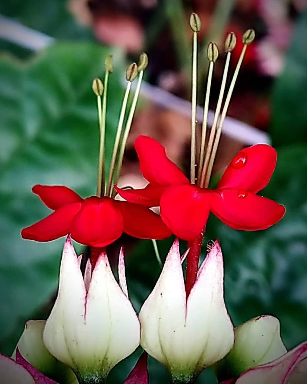 Clerodendrum Thomsoniae Is A Species Of Flowering Plant In The