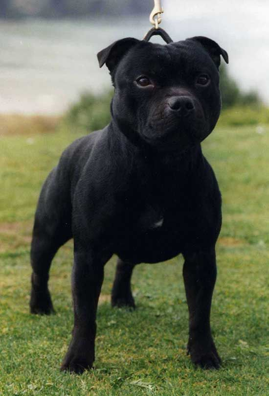 Ch Wyrefare Prince Naseem Wyrefare Midland Sure Shot X Fromestaff Extravaganza Of Wyref English Staffordshire Bull Terrier Pet Dogs Staffordshire Bull Terrier