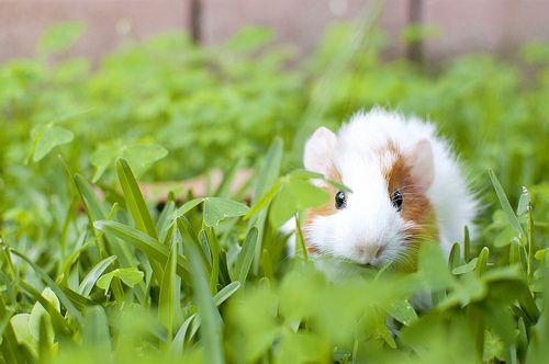 Guinea pig + green grass