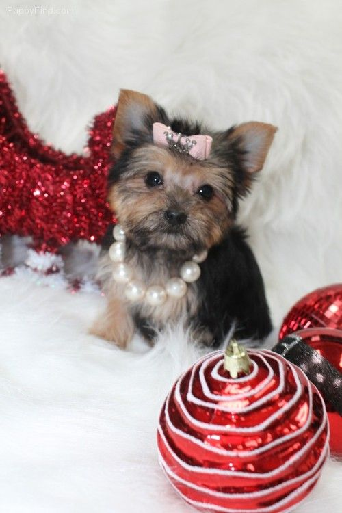 Teacup Yorkie Puppy For Sale In Florida Yorkie Puppy For Sale Teacup Yorkie Puppy Yorkie Puppy