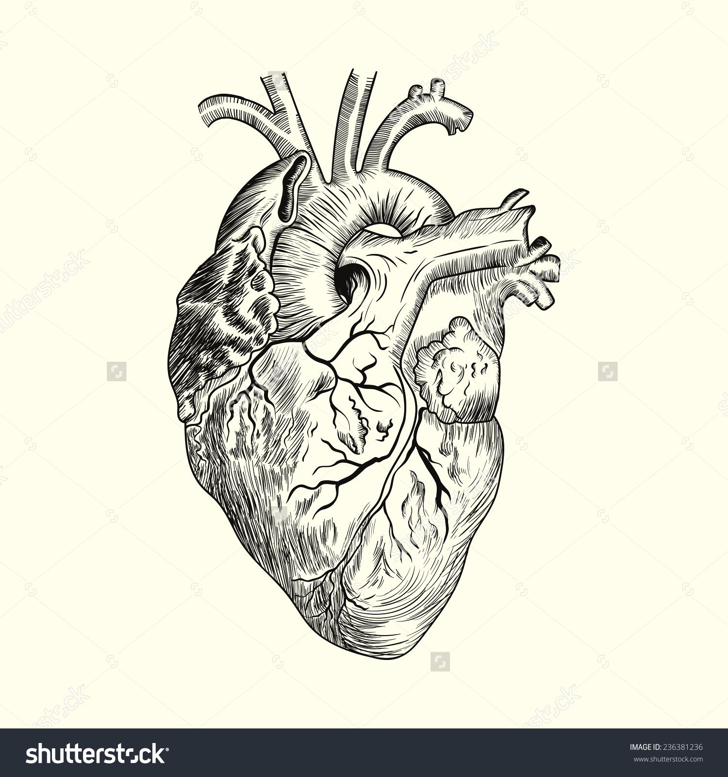 Anatomical Heart Drawing Stock Photos, Images, & Pictures