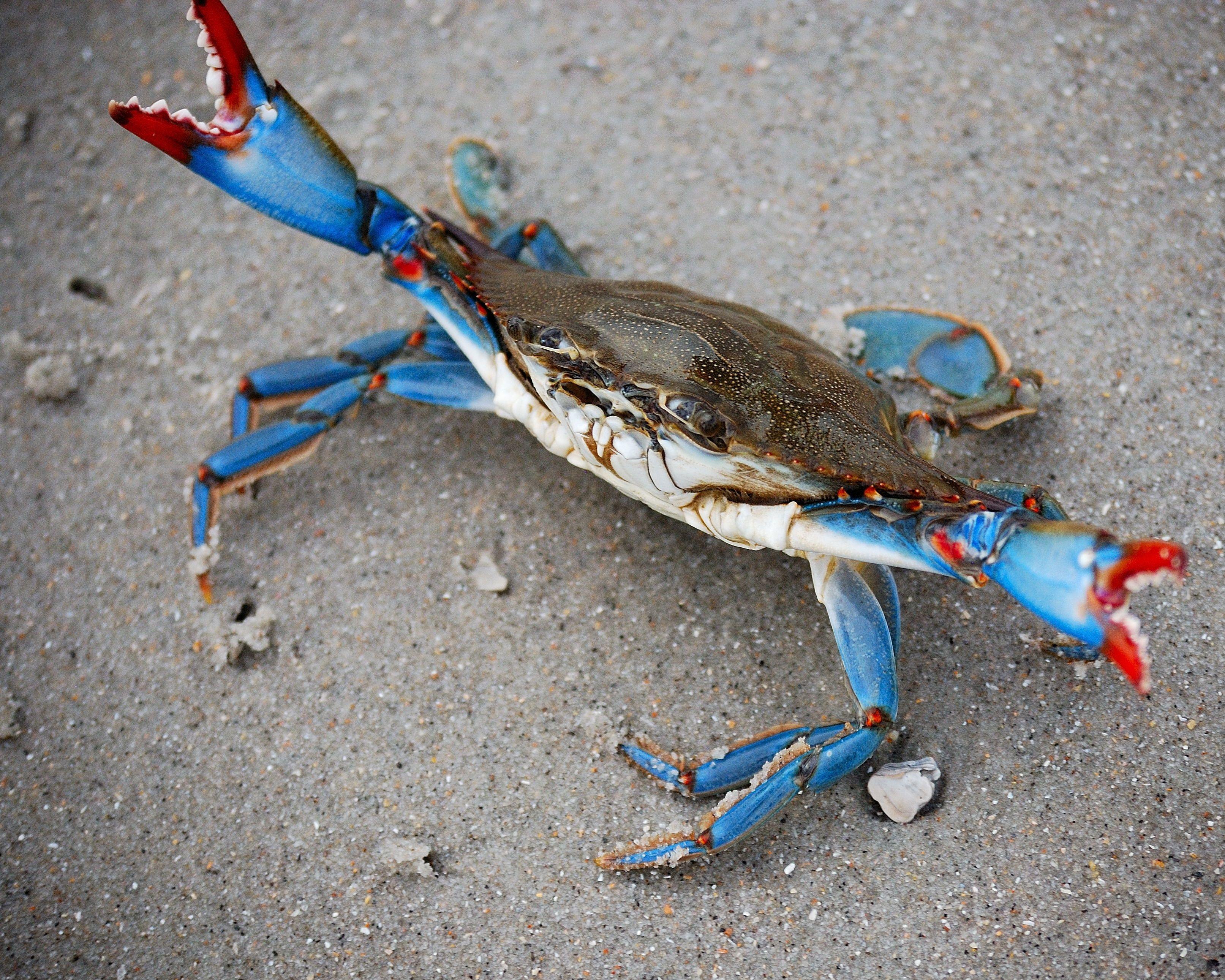 Blue Crab At Myrtle Beach Crab Crab Art Blue Crabs Art