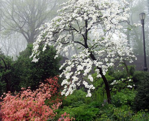 Cornus florida (flowering dogwood). Prefers shade to part shade ...