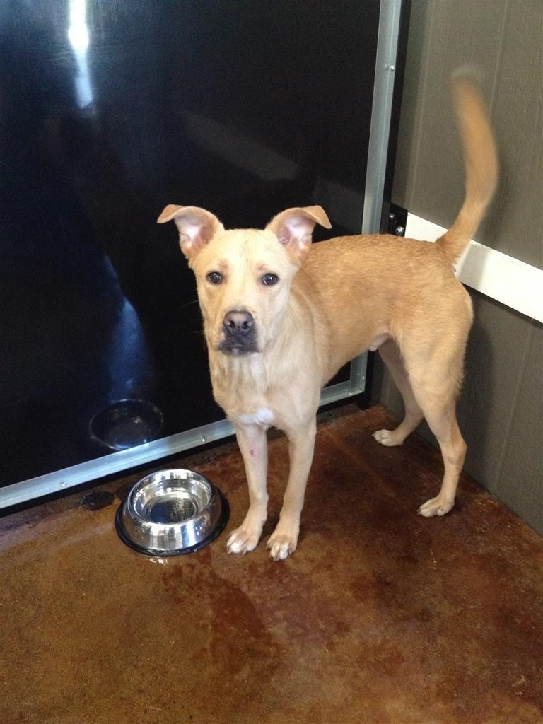 Found Dog Labrador Retriever Athens Ga United States 30605