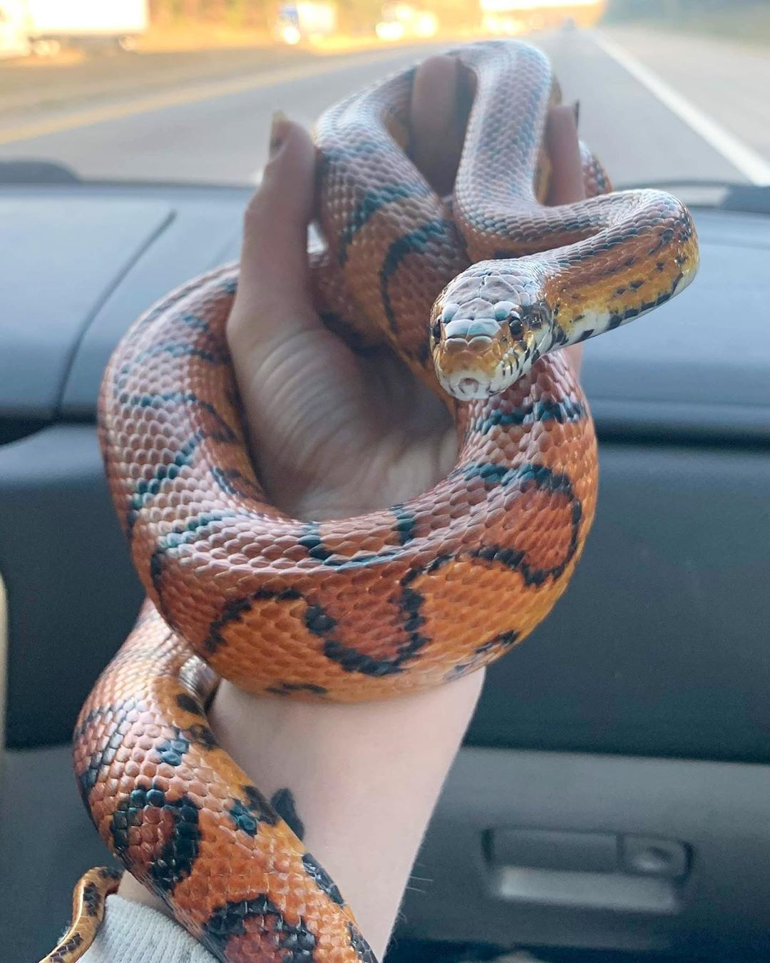 Hognose Snake Pet Price Guide Pets News And Review