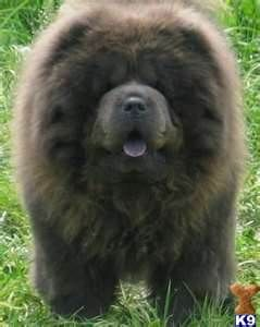 Reminds Me Of My Black Chows Much Different From Other Colors