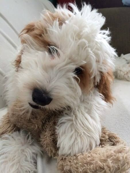 Iowa Teddybear Goldendoodle breeder with family raised Goldendoodle