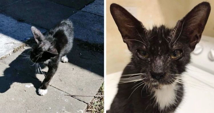 Cat With Large Ears Knew She Needed Help So She Stopped Woman In