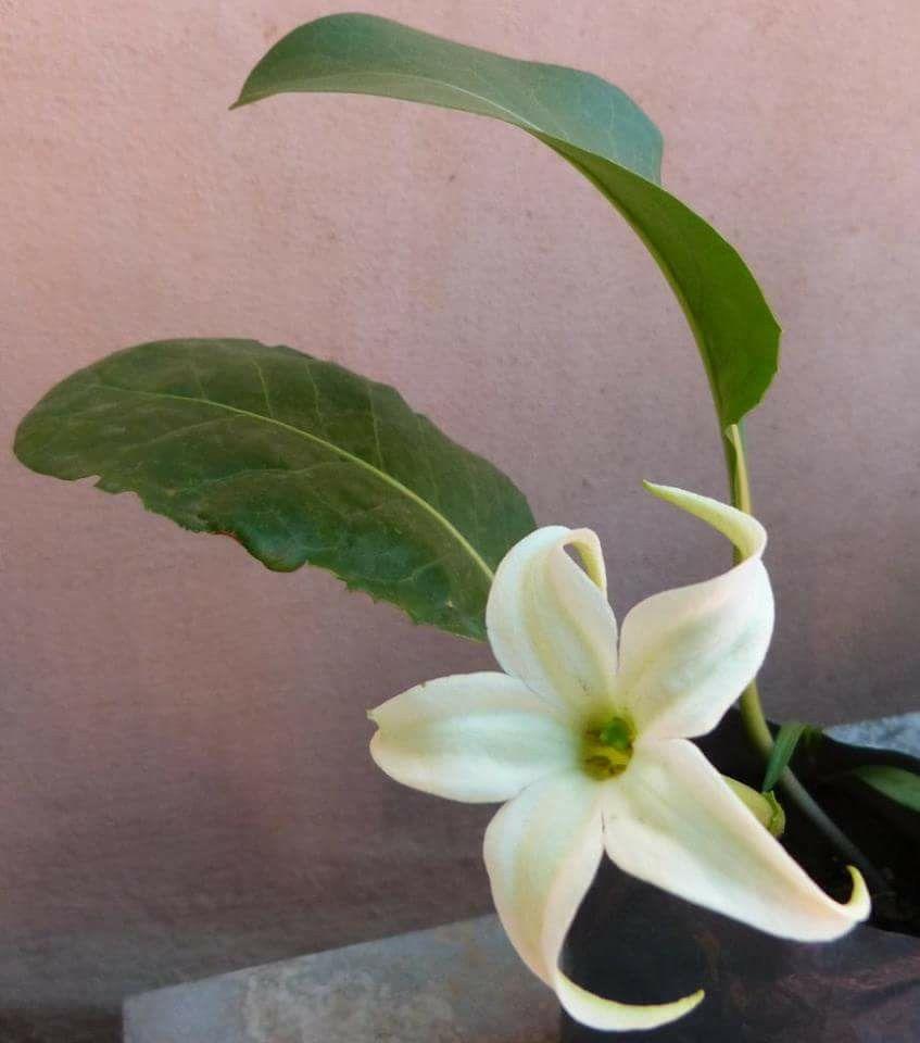 Jaborosa integrifolia (perenne rizomatosa q forma hoja y una flor x nudo)