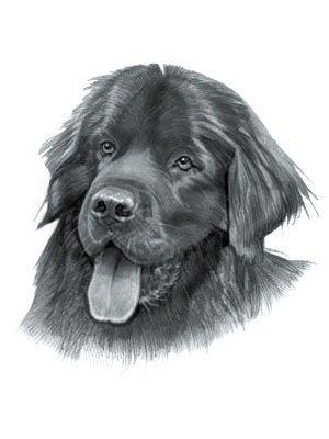 Newfoundland Dog Newfoundland Dog Dog Drawing Newfoundland