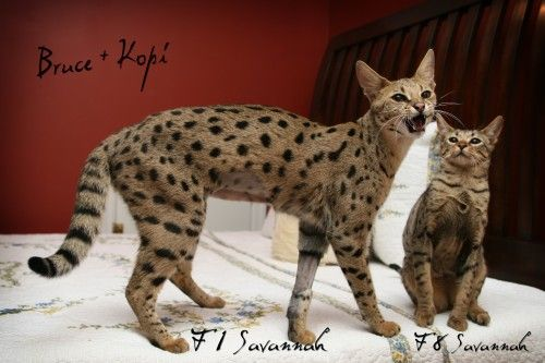 Showing Different Generations Of Savannah Cats Hybrid Cat Toyger Cat Domestic Cat Breeds