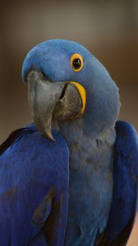 Animal Hyacinth Macaw Birds Parrots Mobile Wallpaper