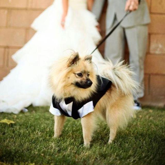 Pomeranian In Tux Pets My Wedding Dogs