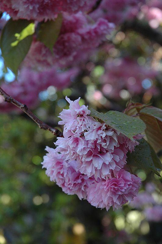 Kwanzan Flowering Cherry Prunus Serrulata Kwanzan At The Growing Place Flowering Cherry Tree Prunus Serrulata Deciduous Trees
