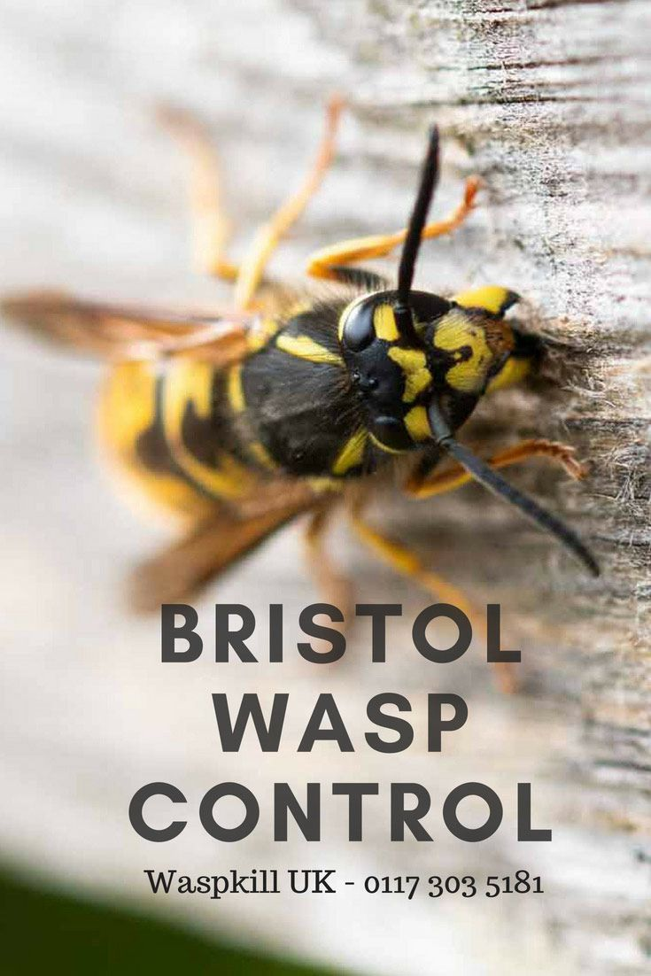 Bristol wasp control from 4900 wasp wasp nest