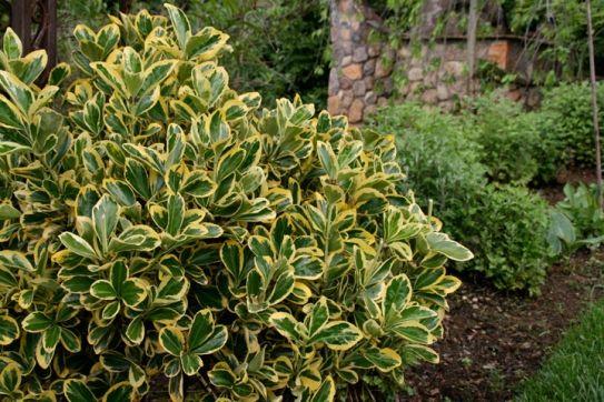 Euonymus Japonicus Aureo Marginata Hardy To Usda Zone 4