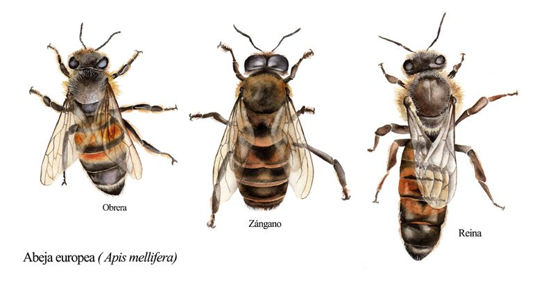 Resultado de imagen de dibujos de abejas de verdad | apicultura ...